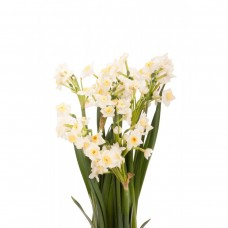 Chinese New Year Narcissus Plant